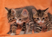 Three striped kittens Stock Photography