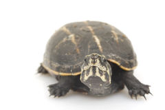 Three-Striped Mud Turtle Royalty Free Stock Photography
