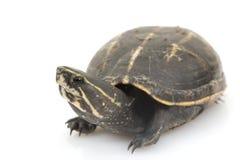 Three-Striped Mud Turtle Stock Image