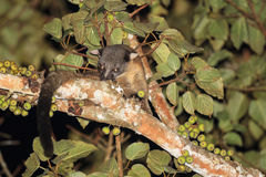 Three-striped Palm Civet eating fig Stock Photo