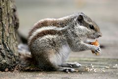 Three-striped Palm Squirrel Stock Photography