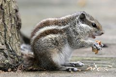 Three-striped Palm Squirrel Royalty Free Stock Photography