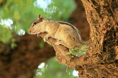 A Three-Striped Palm Squirrel (Funambulus palmarum), Rajasthan, India Royalty Free Stock Photography