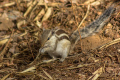 Three striped palm squirrel-3 Stock Photos