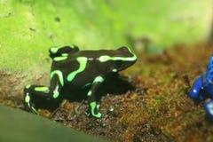 Three-striped Poison Dart Frog Royalty Free Stock Photos