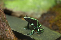 Three-striped Poison Dart Frog Stock Images