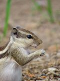 Three Striped Squirrel close portrait Royalty Free Stock Photos