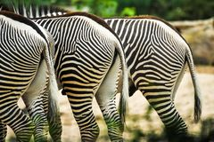 Three zebras halfs in zoo grasing near each other stock image