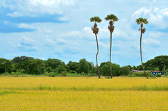 Three sugar palm tree in rice field, Thailand stock photos