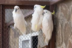 Three Sulphur-crested Cockatoo Stock Photography