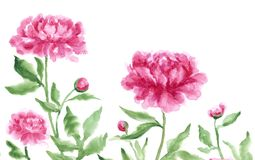 Pink peonies. Three summer pink peonies in the garden Royalty Free Stock Photo