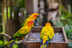 Three Sun conure parrots Royalty Free Stock Images