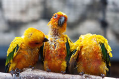Three Sun Conure parrots sitting on a brang and communicating. With each other royalty free stock photo
