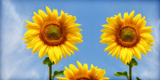 Three sunflower Royalty Free Stock Image