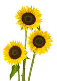 Three Sunflower Royalty Free Stock Photos