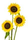 Three Sunflower Royalty Free Stock Photos