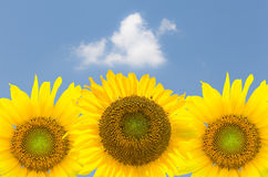 Three sunflower blossoms against blue sky Stock Photo