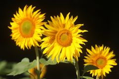 Three sunflower-blossoms on a field. In a row, dark background stock images