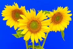 Three sunflower closeup on blue background. A bouquet of three sunflowers closeup on blue background Stock Photography