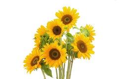 Three sunflower on white background stock photo