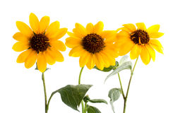 Three sunflowers Stock Photography