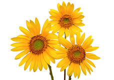 Three Sunflowers Royalty Free Stock Image