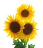 Three sunflowers Royalty Free Stock Image
