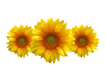 Three sunflowers. Isolated three sunflowers on a white background (clipping path Royalty Free Stock Images
