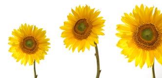 Three sunflowers Royalty Free Stock Photos