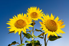 Three sunflowers against sky Stock Image