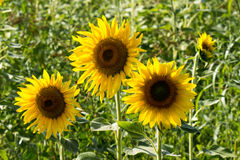 three sunflowers Royalty Free Stock Images
