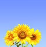 Three sunflowers Stock Images