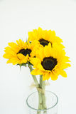 Three sunflowers in the clear vase. On the white background blooming three sunflowers with open yellow and green petals Royalty Free Stock Image