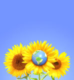 Three sunflowers and Earth on blue sky background Royalty Free Stock Image