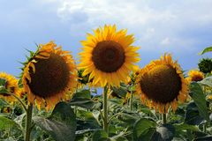 Three sunflowers in a field against a background of sky and clouds Royalty Free Stock Images