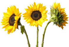 Three Sunflowers Isolated on White Royalty Free Stock Photography