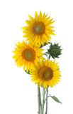 Three sunflowers Royalty Free Stock Photo