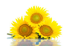 Three sunflowers. Isolated on white background Royalty Free Stock Photos