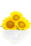 Three sunflowers. Isolated on white background Royalty Free Stock Images