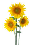 Three Sunflowers isolated on a white background Stock Photography