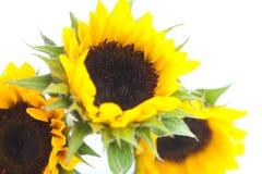 Three sunflowers isolated on white Stock Image