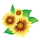 Three sunflowers with leaves Royalty Free Stock Photo