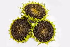 Three sunflowers with ripe seeds isolated on white background. royalty free stock photo