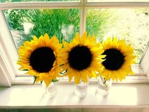 Three Sunflowers in a Sunny Window. Three sunflowers in glass vases on a windowsill on a sunny day royalty free stock images