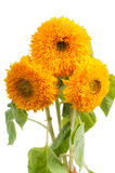 Three sunflowers Stock Photos