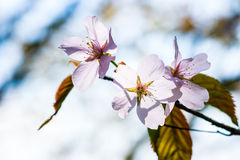 Three sunlit cherry flowers Royalty Free Stock Photos
