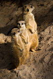 Three Suricates or Meerkats. The meerkat or suricate Suricata suricatta is a small mammal and a member of the mongoose family Royalty Free Stock Image