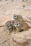 Three Suricates sitting on a stone. Three Suricates or Meerkats (Suricata suricatta), sitting on a stone in Zoo Stock Images