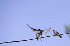 Three swallow birds Royalty Free Stock Photos