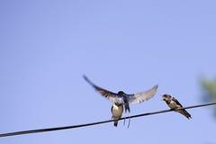 Three swallow birds royalty free stock photos